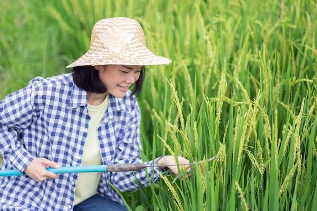 Giovane donna asiatica del coltivatore che si siede e risone a falce presso l'azienda agricola