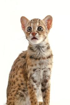 Il gatto leopardo asiatico isolato su bianco