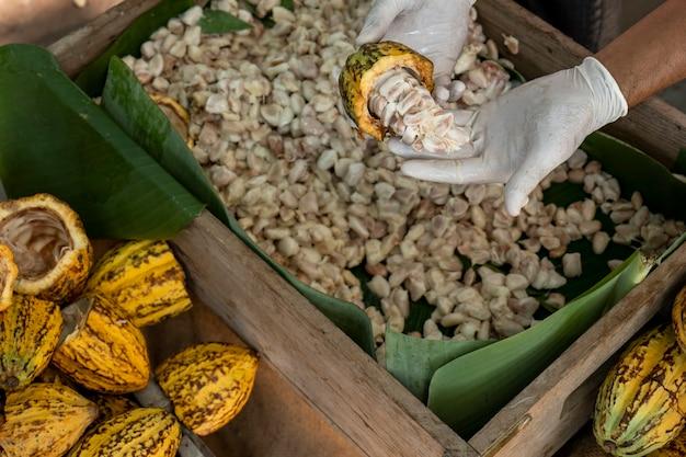 Agricoltore asiatico dal lavoro in campagna per la produzione di cacao. gli operai estraggono e lavano le fave di cacao per asciugarle. in una scena rurale dell'agricoltura, le fave di cacao fermentavano.