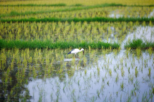 Un uccello fatturato aperto asiatico nel giacimento tailandese del riso
