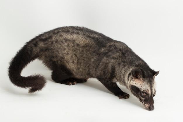 Lo zibetto delle palme asiatico o luwak paradoxurus hermaphroditus isolato su sfondo bianco