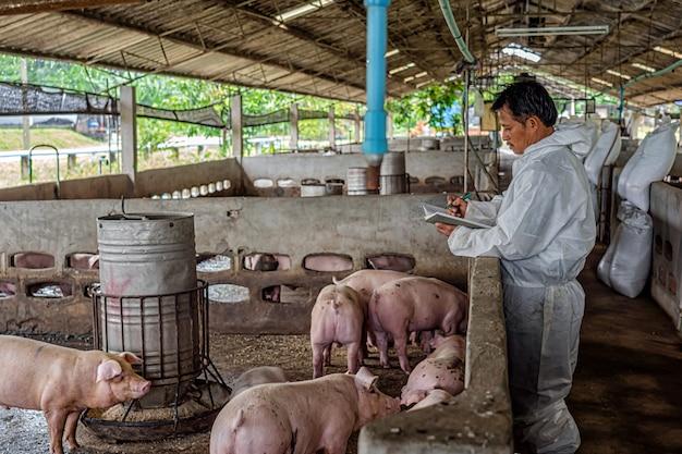 Veterinario asiatico che lavora e che controlla il maiale negli allevamenti di suini, nell'industria di allevamento di animali e suini