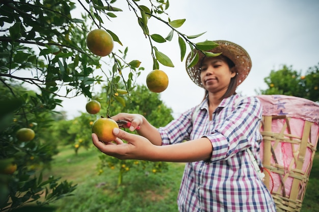 Giardiniere donna asiatica con il cesto sul retro raccogliendo un'arancia con le forbici nel giardino del campo di arance al mattino.