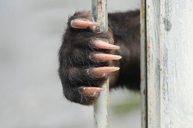 L'orso nero asiatico (ursus thibetanus) è in gabbia per l'uso astratto