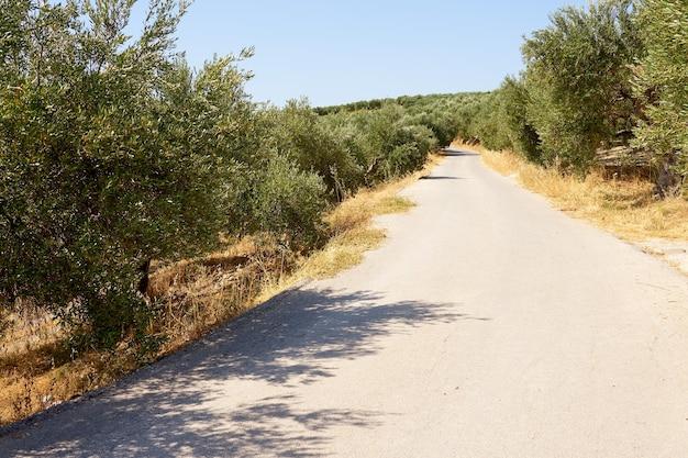 La strada asfaltata attraversa un uliveto.