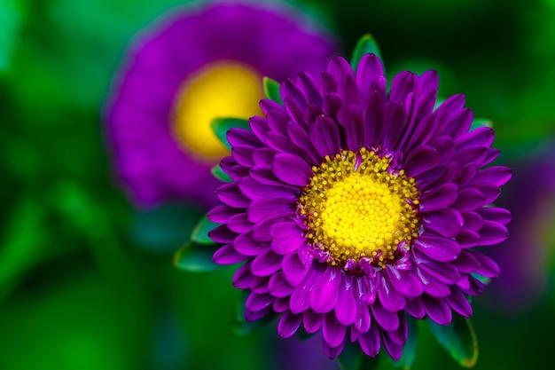I fiori autunnali dell'aster si chiudono.