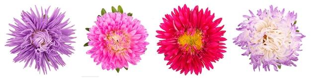 Fiori dell'aster isolati su priorità bassa bianca. mescoli il primo piano dei fiori dell'aster.