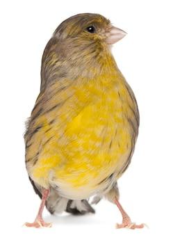 Atlantic canary, serinus canaria, 2 anni, di fronte a uno sfondo bianco