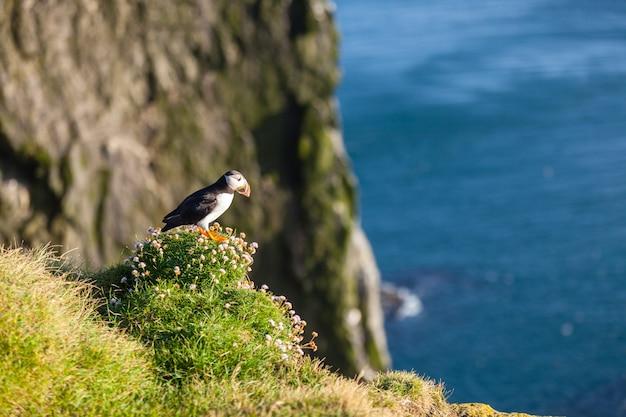Pulcinella di mare atlantica -fratercula arctica- su una scogliera costiera nell'islanda occidentale