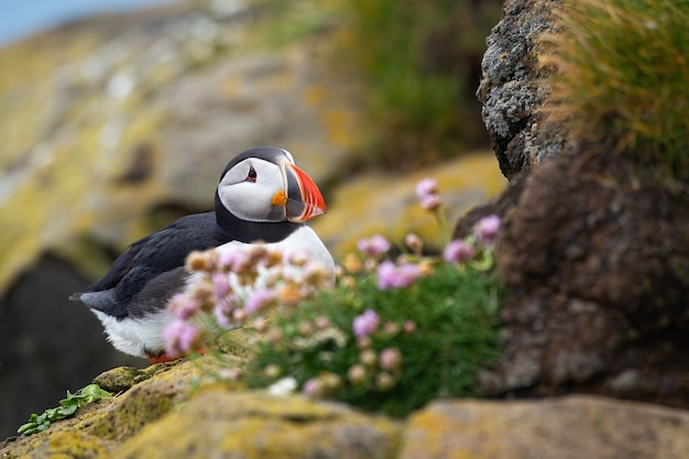 Puffino atlantico seduto su una scogliera rocciosa in estate