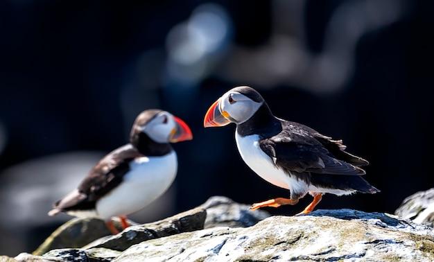 I puffini atlantici si rilassano sotto la calda luce del sole sulle isole farne in inghilterra