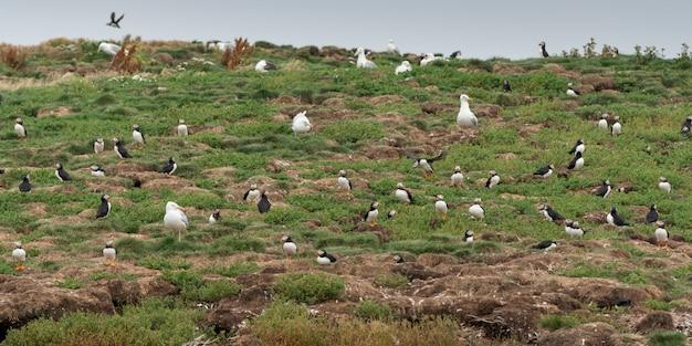 Pulcinella di mare e gabbiani atlantici a costa, piccola catalina, north bird island, bonavista peninsula, new