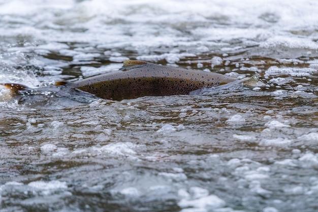 Salmone atlantico che salta rapide per trovare un luogo di nidificazione.