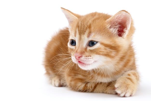 Il gattino a strisce ramate si trova su una superficie bianca.