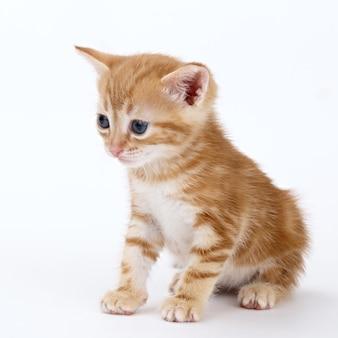 Il gattino a strisce ramate si siede su una superficie bianca.