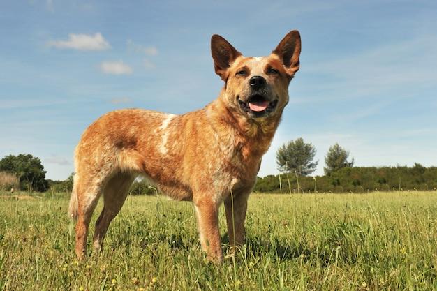 Cane da bestiame australiano nell'erba