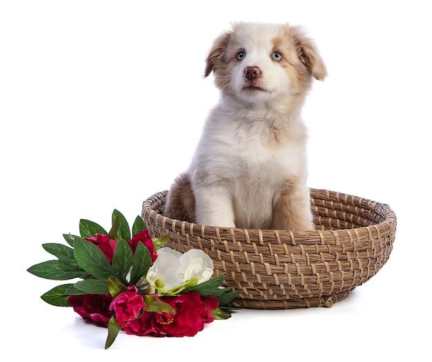 Cucciolo di pastore australiano con fiori nel cesto su bianco isolato