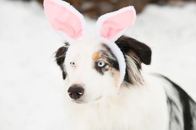 Pastore australiano con orecchie di coniglio orlo close up ritratto.