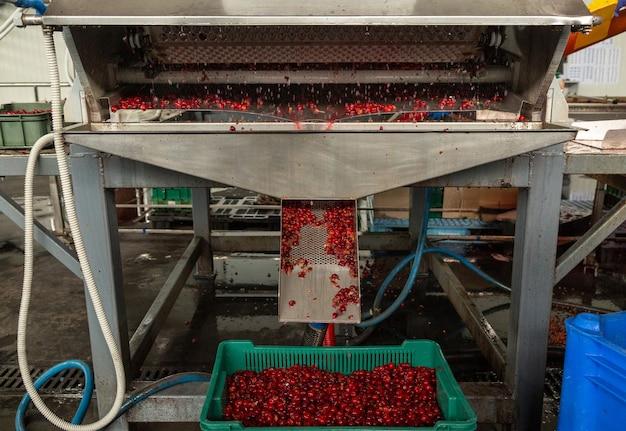 Processo automatico di rimozione delle ciliegie illiquide dal trasportatore.