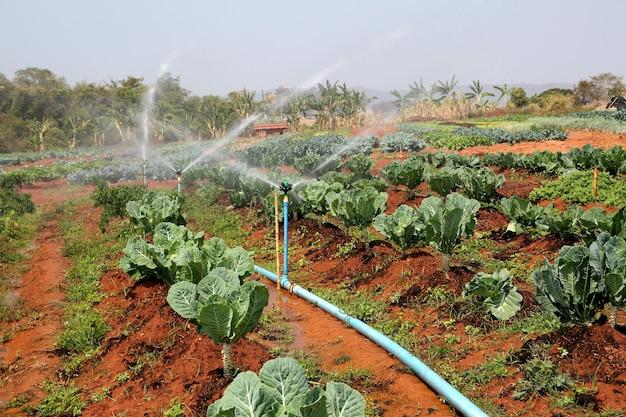 Irrigatori automatici che irrigano le file di ortaggi freschi di cavolo verde che crescono nelle fattorie