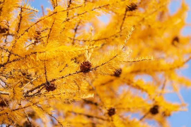 Sfondo autunnale di rami di larice color oro con coni
