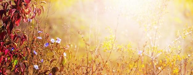 Sfondo autunnale con foglie colorate e fiori di cicoria su uno sfondo sfocato alla luce del sole in caldi colori autunnali