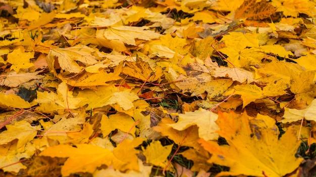 Sfondo autunno con foglie di acero