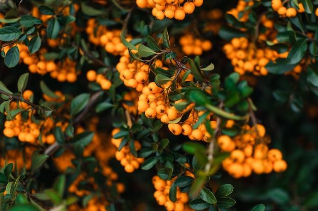 Priorità bassa di autunno con l'olivello spinoso maturo arancione
