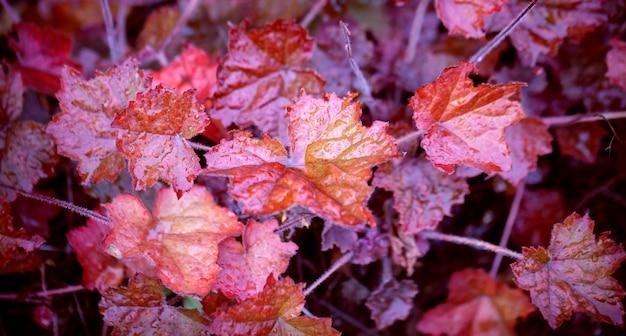Sfondo autunnale con foglie di begonia rossa da vicino con gocce di pioggia