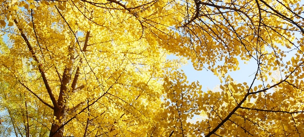 Sfondo autunnale con foglie gialle di ginkgo biloba.