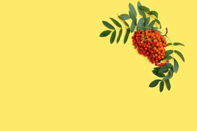 Bacche autunnali di cenere di montagna rossa o bacche di sorbo con foglie verdi su sfondo giallo