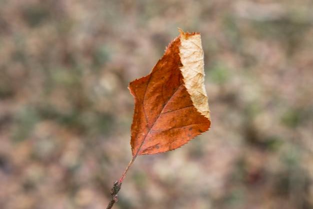 Foglia marrone d'autunno su uno sfondo sfocato. foglie secche che cadono. dissolvenza. tardo autunno.