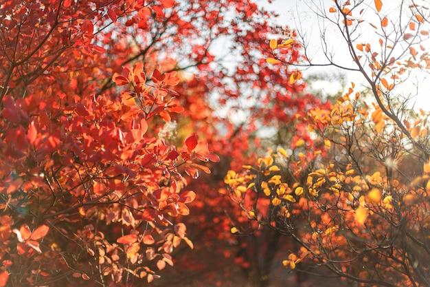 Cespugli autunnali con foglie rosse. l'autunno dipinge in un parco cittadino.