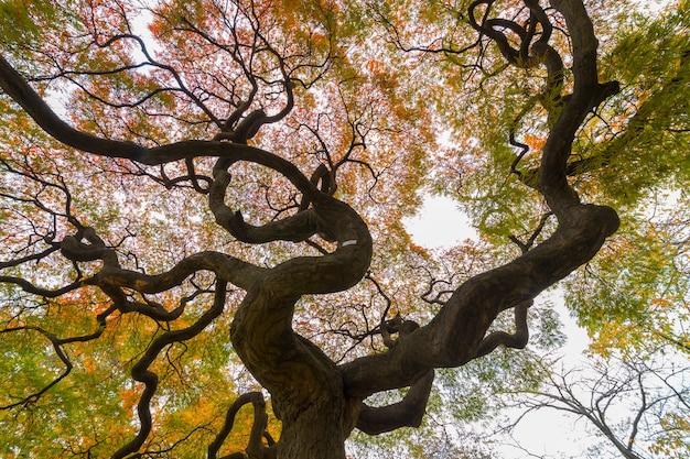 Foglia di acero rossa variopinta di autunno sotto l'albero di acero