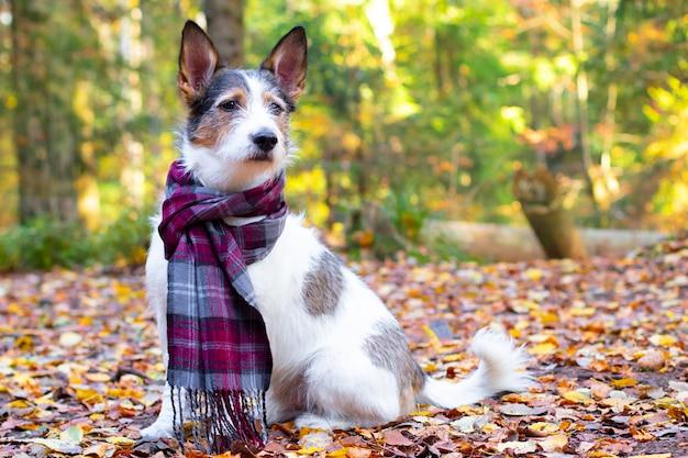Cane d'autunno, un grazioso cucciolo con una sciarpa si siede in foglie colorate nella foresta. animale domestico romantico e contento ottiene raggi di sole dorati in autunno, umore