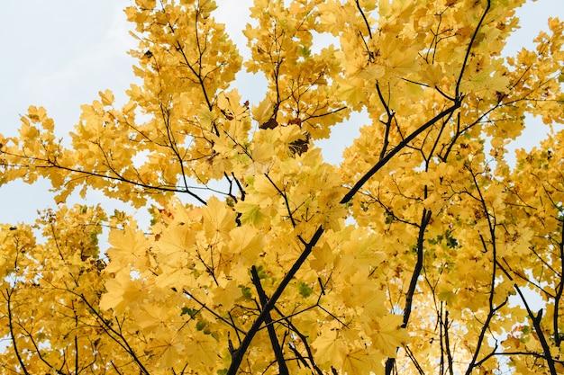 Composizione autunnale e autunnale. bellissimo paesaggio con foglie di acero gialle