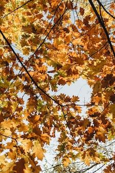 Composizione autunnale e autunnale. bellissimo paesaggio con foglie di quercia gialle e arancioni