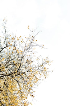 Composizione autunnale e autunnale. bellissimo albero con foglie gialle contro il cielo bianco