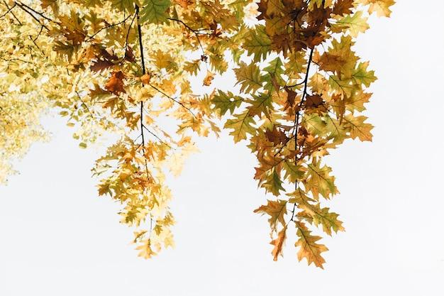 Autunno, composizione autunnale. bellissimi alberi con foglie di quercia gialle, arancioni e verdi