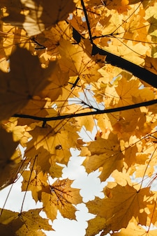 Composizione autunnale e autunnale. belle foglie di acero gialle nel parco. concetto di caduta e naturale.