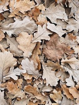 Composizione autunnale e autunnale. foglie di quercia beige