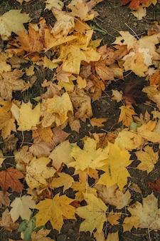 Composizione autunnale e autunnale. foglie di acero arancione e gialle colorate