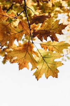 Autunno, autunno e composizione minima. bellissimo ramo con foglie di quercia gialle, arancioni e verdi