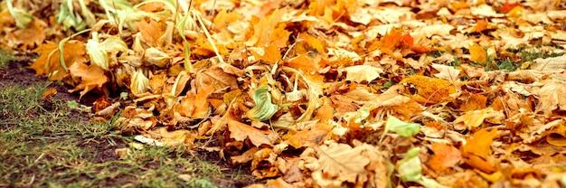Foglie cadute autunnali di un albero di acero a terra sull'erba verde. fogliame caduta sulla terra. striscione