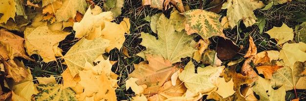 Foglie cadute autunnali di un albero di acero a terra sull'erba verde. fogliame caduta sulla terra. vista dall'alto. striscione