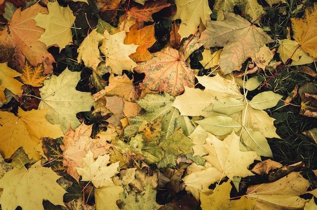 Foglie cadute autunnali di un albero di acero a terra sull'erba verde. fogliame caduta sulla terra. vista dall'alto