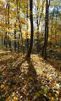 Bosco autunnale cosparso di faggi gialli e foglie di acero.
