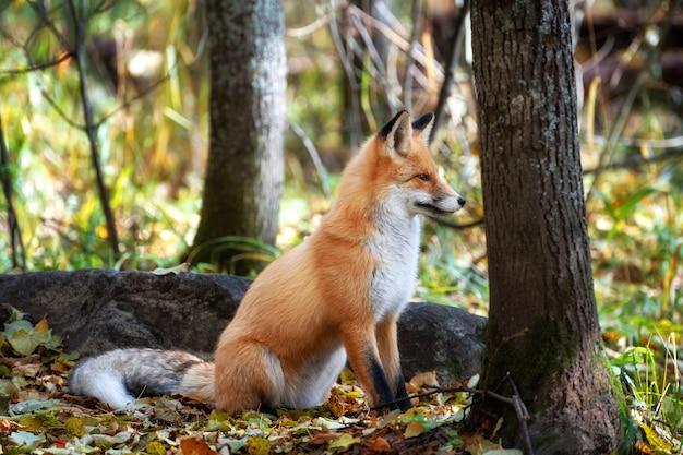 Nella foresta autunnale, circondata da foglie cadute, una giovane volpe si siede e guarda attentamente