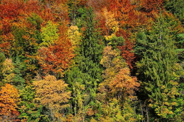 Gli alberi della foresta di autunno si chiudono con i colori gialli e verdi rossi vibranti