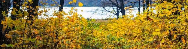 Foresta d'autunno con foglie gialle sugli alberi vicino al fiume, panorama